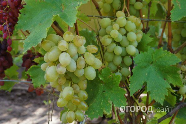 Vinograd_Aleksa-1