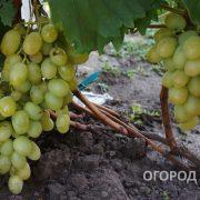 Vinograd_Aleksa-3