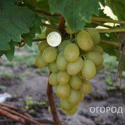 Vinograd_Aleksa-4