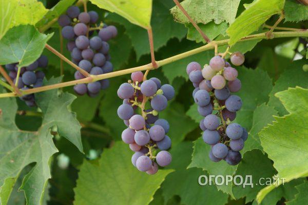 Vinograd_Alfa-1