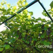Vinograd_Alfa-2