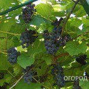Vinograd_Alfa-4
