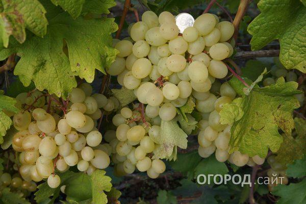 Vinograd_Blagovest-1