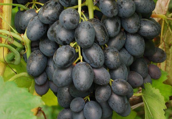 Vinograd_Furor-1