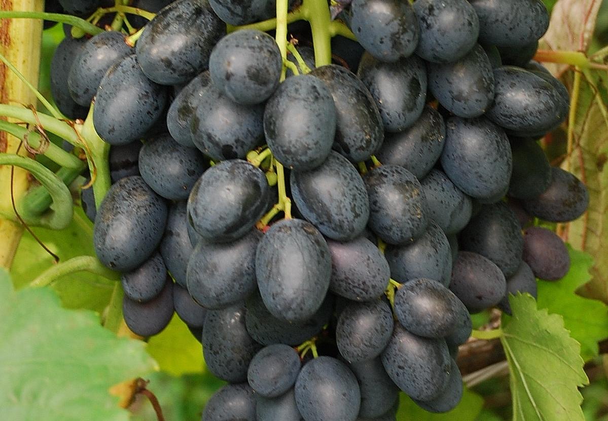 шпунтованная влагостойкая все сорта винограда с фото и описанием мужчины, который родился