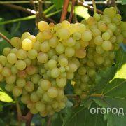 Vinograd_Kishmish_342-2