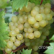 Vinograd_Kishmish_342-3