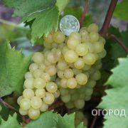 Vinograd_Kishmish_342-5