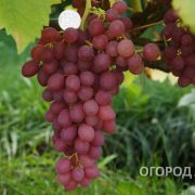 Vinograd_Kishmish_Luchisty-1