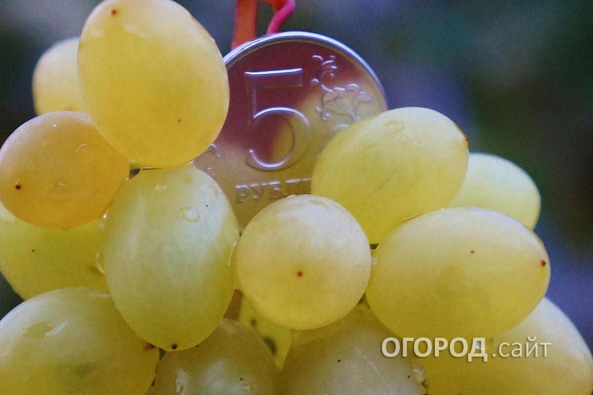 еще виноград мираж описание сорта фото этого