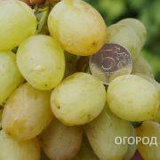 Vinograd_Monarh-3