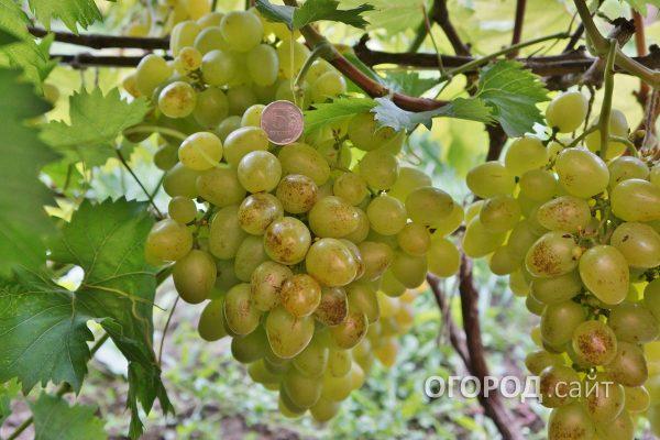 Vinograd_Prelest-1