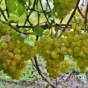 Vinograd_Prelest-2
