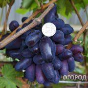 Vinograd_Romeo-1