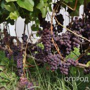 Vinograd_Russkiy_Konkord-8