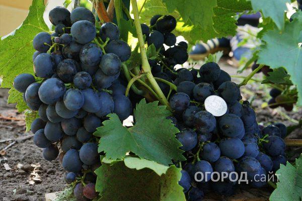 Vinograd_Sfinks-1