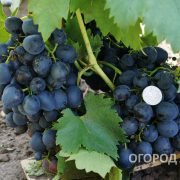 Vinograd_Sfinks-3