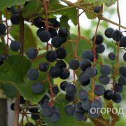 Vinograd_Taezhny-2