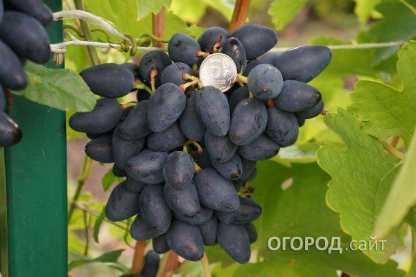 Vinograd_Viking-1