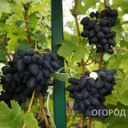 Vinograd_Viking-16