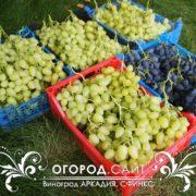виноград сорт аркадия купить черенки