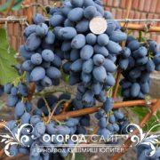 Виноград Юпитер (кишмиш)