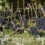 vinograd-kodryanka-3