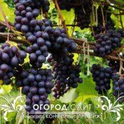 Виноград Конфетный (Престиж)