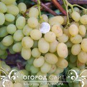Виноград Лора/Флора