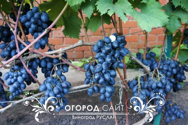 Виноград Руслан в Ульяновской области