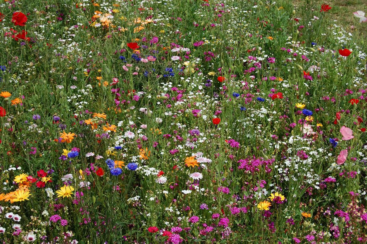 Маргаритки цветов и уход 35