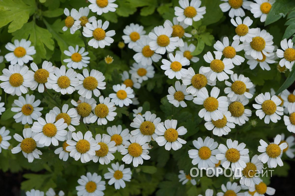 Многолетний александрия цветок фото