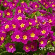 Tsvety_Primula-1