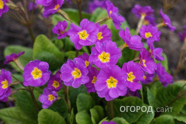 Tsvety_Primula-3