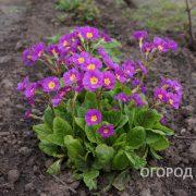 Tsvety_Primula-4