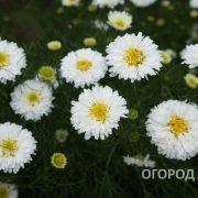Tsvety_Romaska_Frantsuzskaya_mahrovaya-2