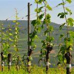 Размножение винограда прививкой