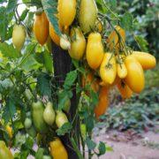 томат банановые ноги открытый грунт