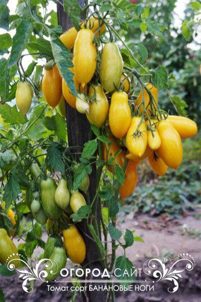 купить семена томата банановые ноги