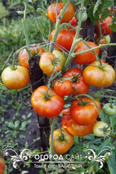 томат валютный характеристика фото урожайность