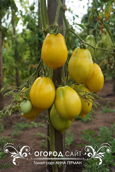 pomidor_anna_german_3