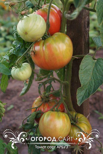 pomidor_arbuz_3