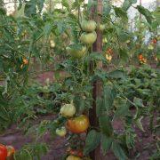 pomidor_arbuz_4