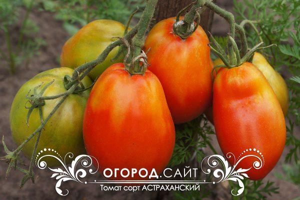 pomidor_astrahanskiy_1