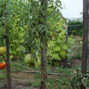 pomidor_astrahanskiy_4