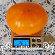 pomidor_azoyushka_1