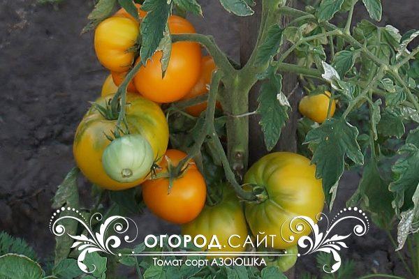 pomidor_azoyushka_6