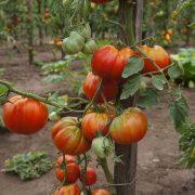 pomidor_babushkino_6