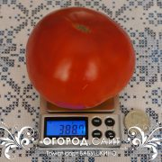 pomidor_babushkino_8