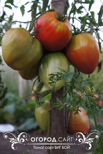 pomidor_big_boy_1